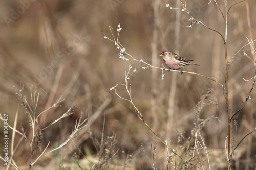 Tuinposter Gras Common Redpoll bird perched on twig facing left. Soft background Ukraine 2018