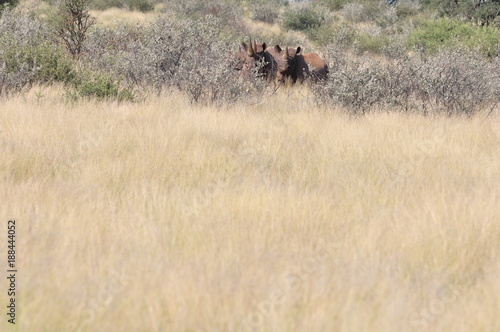 A family of rhinos in the african bush. Namibia