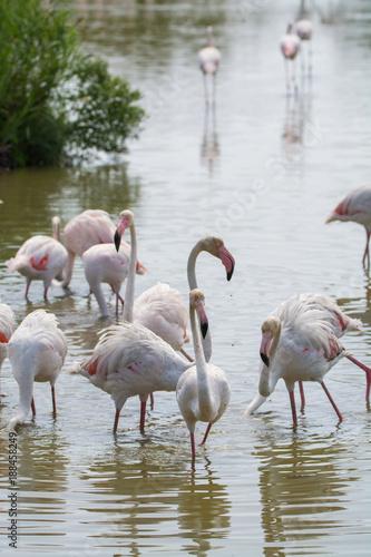 Wild birds big pink flamingo in national park, Provence, France