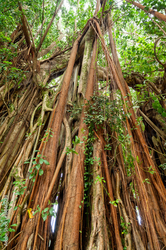 Foto Murales Tree with hanging roots in Reunion Island