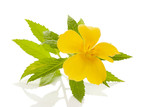 Healthy Damiana flower - 188483846