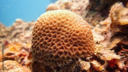 brain coral found at coral reef area at Tioman Island, Malaysia