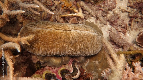 mushroom coral found at coral reef area at Tioman Island, Malaysia