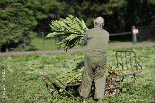 Foto Murales Tabac recolte sechage