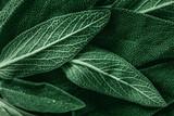 Macro photography of fresh sage. Concept of organic food. - 188497491