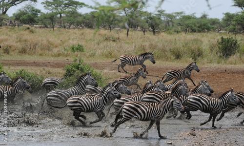 Zebres Tanzanie eau troupeau