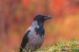 A crow at the autumn colours.