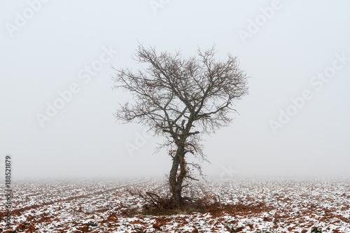 Foto Murales Roble, campo agrícola con nieve y niebla en invierno. Quercus.