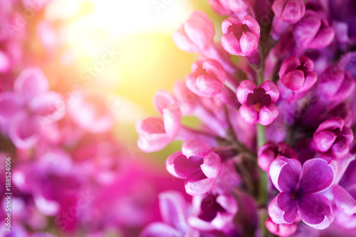 macro photo of lilac flowers on the background of a sunlight, selective focus, shallow depth of field - 188524006