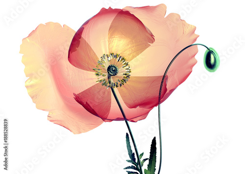 color glass flower isolated on black , the poppy