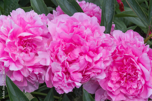 pink peony grows on a flower bed - 188528841
