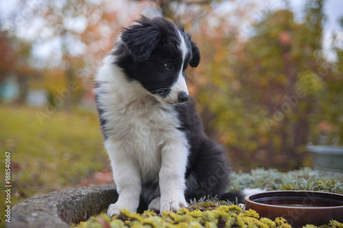 puppy border collie in autumn sitting