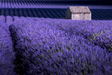 Provence, France. Valensole Plateau with lonely house in the lavender field in bloom