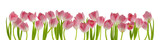 beautiful fresh tulips in a row isolated on white can be used as background