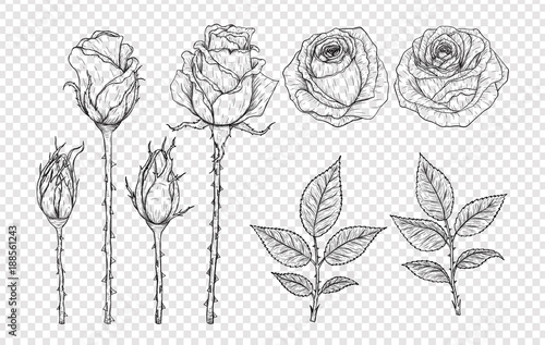 Rose vector set by hand drawing.Beautiful flower on white background.Rose art highly detailed in line art style.Flower tattoo on vintage paper.