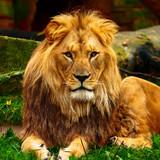 Ein schöner Löwe
