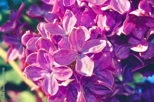 Spring flowers of lilac. Blooming pink lilac flowers under sunlight, spring flower background - 188570098
