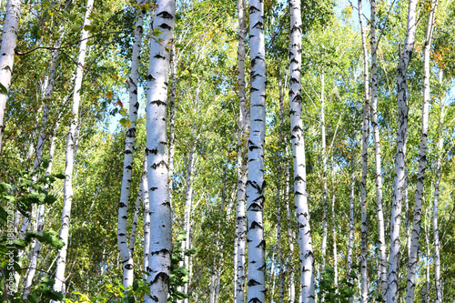 Papiers peints Bosquet de bouleaux Birch trees with green leaves and white trunks in summer in birch grove