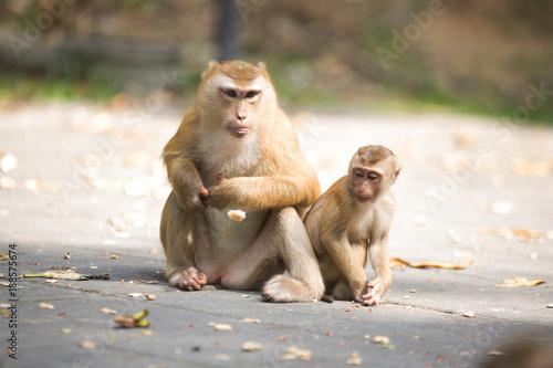 Foto Murales Monkeys of Monkey Hill Thailand 2