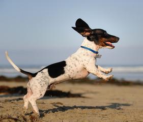 Miniature Dachshund outdoor portrait jumping in air