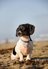 Miniature Dachshund outdoor portrait sitting on beach