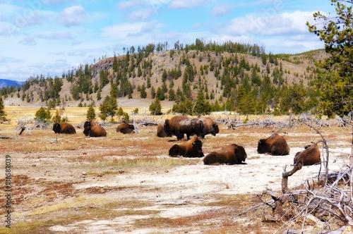 Aluminium Bison American Bison (Buffalo) in Yellowstone National Park