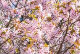 Blossom cherry - 188592291