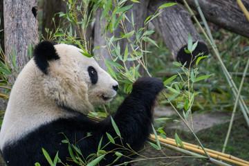 Giant panda inspecting food before eating it