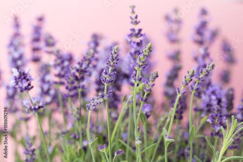 Foto Murales Lavender flowers.