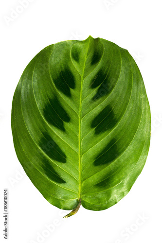 Juicy and fresh leaves isolated on white background. - 188610024