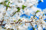 Honey bee flying on Cherry Blossom in spring with Soft focus, Sakura season- Spring abstract scenes.