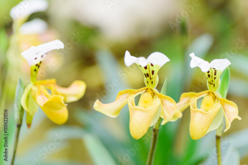 Yellow Paphiopedilum orchid flower or Lady's Slipper orchid in Thailand