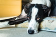 Close up of Great Dane resting at home.