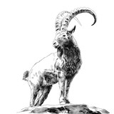 mountain goat standing on rocks and looking in the direction of sketch vector graphics monochrome drawing
