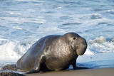 Male elephant seal on a beach looking towards viewers right. Elephant seals take their name from the large proboscis of the adult male (bull), which resembles an elephant - 188649085
