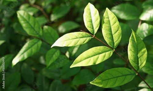 Foto Murales dark Green leaves