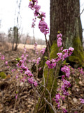 Przedwiośnie w lesie zakwita wawrzynek wilczełyko (Daphne mezereum)