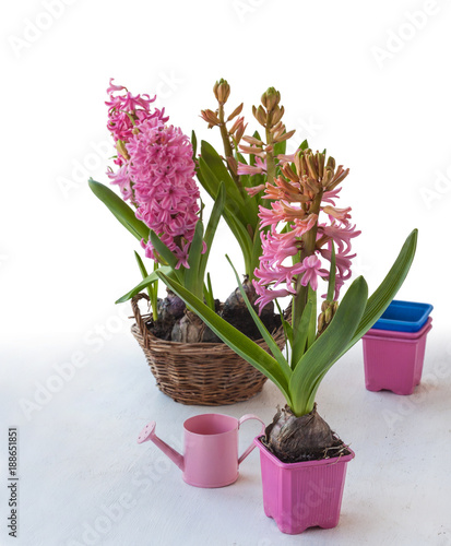Foto Murales Pink hyacinths on a white background