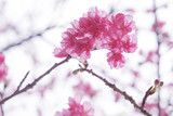 Soft focus Giant tiger flowers (Cherry blossom) on white background. - 188652056