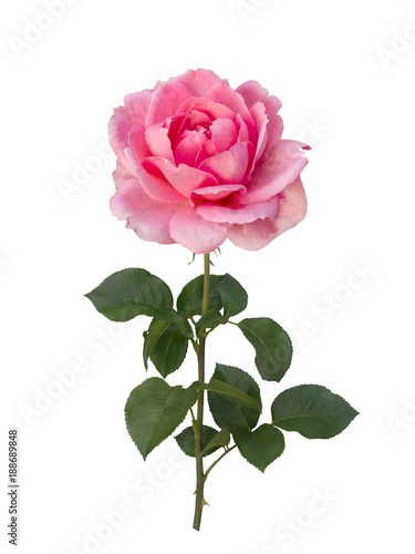 Delicate pink rose