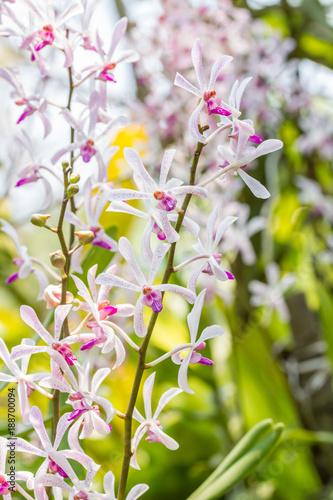 White purple orchid, Arachnostylis Chorchalood. - 188700094