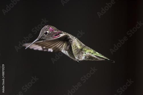Koliberek Anny (Calypte Anna) w locie