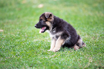 German Shepherd puppy on green grass