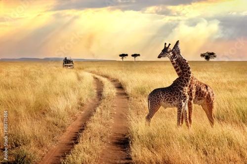 mata magnetyczna Group of giraffes in the Serengeti National Park on a sunset background with rays of sunlight. African safari.