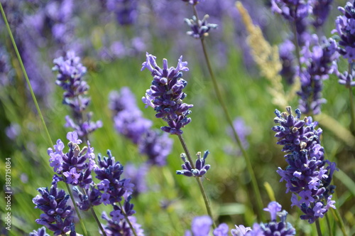 Lavender Close Up - 188715084