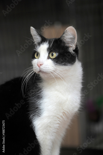 Keuken foto achterwand Panter Beautiful black and white cat portrait