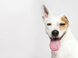 The dog of Russel Terrier smiling and looking