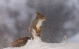red squirrel with snowstorm standing on snow