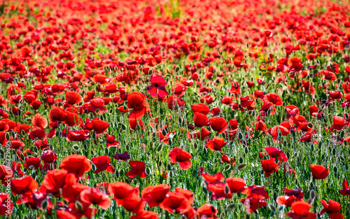 vivid red poppy field at sunset. beautiful summer background - 188729695