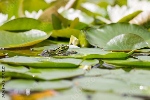 Fotobehang Kikker water lily